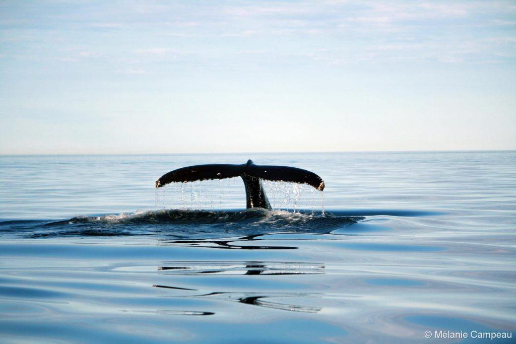 baleine-canada